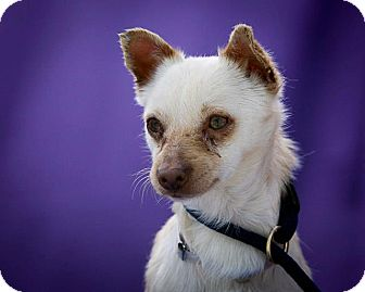 Norfolk Terrier/Chihuahua Mix Puppy for adoption in Poway, California - Pumpkin