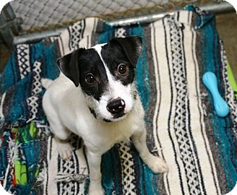 Jack Russell Terrier Mix Dog for adoption in Kalamazoo, Michigan - Eddie