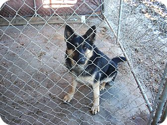 German Shepherd Dog Dog for adoption in Portland, Maine - Egan