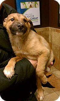 German Shepherd Dog/Collie Mix Puppy for adoption in Orland Park, Illinois - Einey