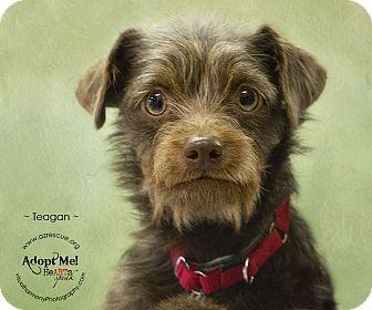 Cairn Terrier Mix Dog for adoption in Phoenix, Arizona - Teagan