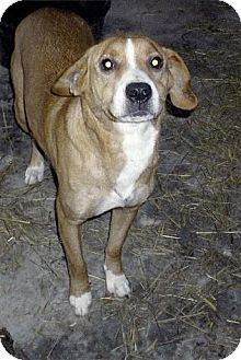 Labrador Retriever/American Pit Bull Terrier Mix Dog for adoption in Moulton, Alabama - Shelby