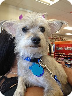 Terrier (Unknown Type, Small) Mix Dog for adoption in Van Nuys, California - Minnie