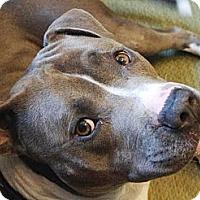 Adopt A Pet :: Stan - Reisterstown, MD
