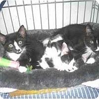 Adopt A Pet :: Kittens! - Quincy, MA