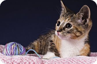 Domestic Shorthair Kitten for adoption in Wayne, New Jersey - Mona Lisa
