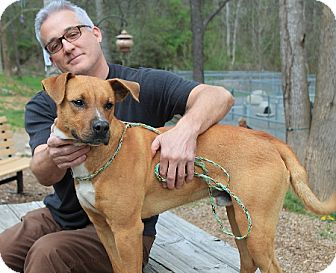 Black Mouth Cur Dog for adoption in Marble, North Carolina - Copper