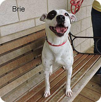 Australian Cattle Dog Mix Dog for adoption in Slidell, Louisiana - Brie