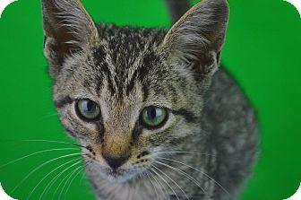 Domestic Shorthair Kitten for adoption in Carencro, Louisiana - Jordan