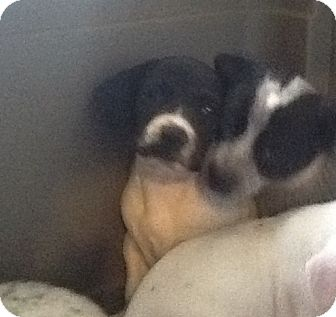 Beagle Mix Puppy for adoption in springtown, Texas - Goofy