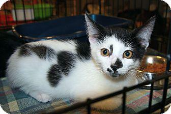 Domestic Shorthair Kitten for adoption in Rochester, Minnesota - Tom