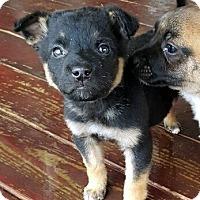 Adopt A Pet :: LAB AND G. SHEP PUPPIES - Winnetka, CA