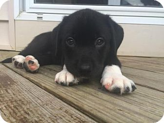 Labrador Retriever/Border Collie Mix Puppy for adoption in Brookeville, Maryland - Mia