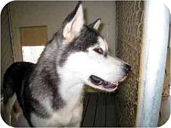Siberian Husky Mix Dog for adoption in Lavon, Texas - Shania