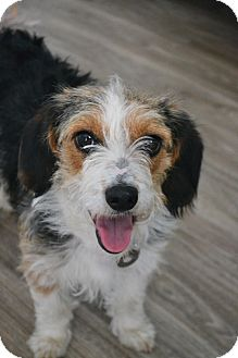 Schnauzer (Miniature)/Beagle Mix Puppy for adoption in Southington, Connecticut - Daisy Belle
