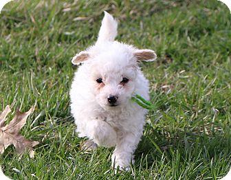 Shih Tzu/Poodle (Miniature) Mix Puppy for adoption in Lisbon, Iowa - Sven
