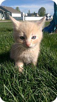 Domestic Shorthair Kitten for adoption in Ogden, Utah - TJ