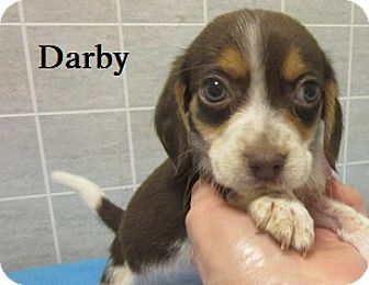 Beagle Mix Puppy for adoption in Bartonsville, Pennsylvania - Darby