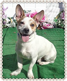 Jack Russell Terrier Mix Dog for adoption in Marietta, Georgia - JAKE/MICA