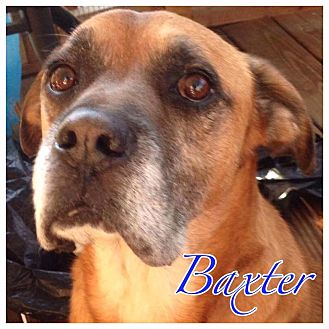 Boxer Mix Dog for adoption in High Point, North Carolina - Baxter