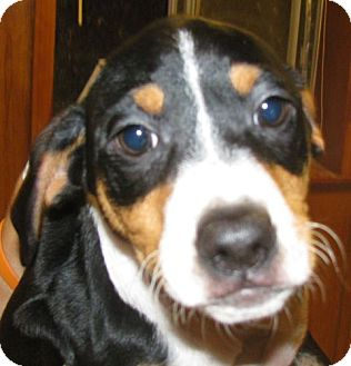 Pointer/Coonhound Mix Puppy for adoption in Snellville, Georgia - Puppies Puppies Puppies