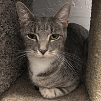 Adopt A Pet :: Stripey - Naugatuck, CT