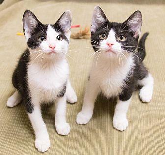 Domestic Shorthair Kitten for adoption in Chicago, Illinois - Silvie and Sahara