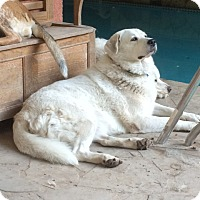 Akbash/Great Pyrenees Mix Dog for adoption in Whitewright, Texas - Elsa