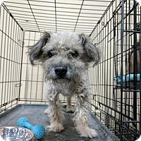 Adopt A Pet :: Gravy - Las Vegas, NV