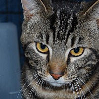 Adopt A Pet :: Tiger - Whittier, CA