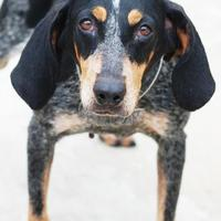 Adopt A Pet :: Molly - Toccoa, GA