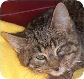 Domestic Shorthair Kitten for adoption in Lombard, Illinois - Medinah