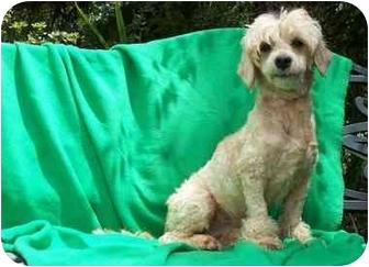 Cockapoo Mix Dog for adoption in Mobile, Alabama - TWEEDLE DEE