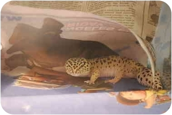 Gecko for adoption in Culver City, California - Leopard Gecko