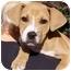 Photo 1 - American Pit Bull Terrier/Labrador Retriever Mix Puppy for adoption in El Segundo, California - Einstein