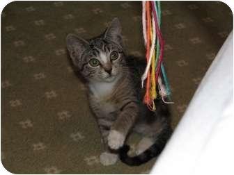 Domestic Shorthair Kitten for adoption in Wakinsville, Georgia - Stormy