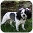 Photo 4 - Cavalier King Charles Spaniel/Shih Tzu Mix Dog for adoption in Newport Beach, California - FAYE