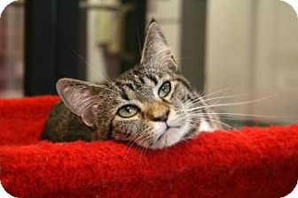 Egyptian Mau Cat for adoption in Gainesville, Florida - Rho