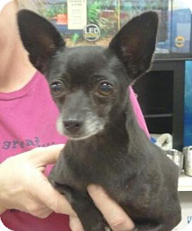 Chihuahua Dog for adoption in Orlando, Florida - Tootsie