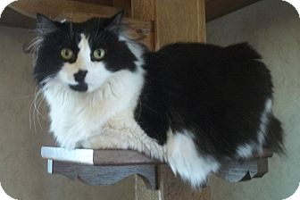 Maine Coon Cat for adoption in Witter, Arkansas - Chloe
