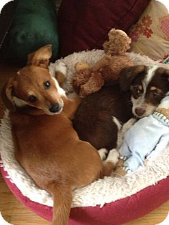 Jack Russell Terrier Mix Puppy for adoption in Burbank, California - Donny