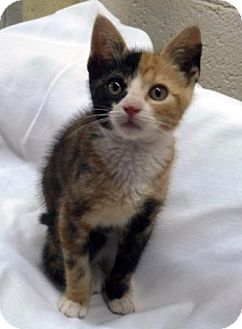 Calico Kitten for adoption in Turnersville, New Jersey - Lola