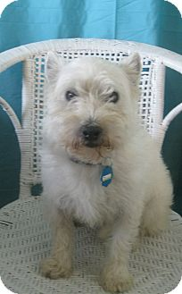 Westie, West Highland White Terrier Dog for adoption in Prole, Iowa - JIllian