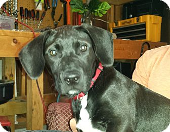 American Bulldog/Labrador Retriever Mix Puppy for adoption in Crown Point, Indiana - Jack