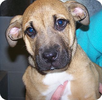 Boxer Mix Puppy for adoption in Grants Pass, Oregon - Yam