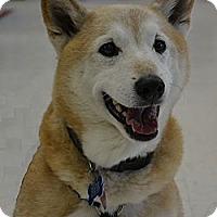 Adopt A Pet :: Eichi - Centennial, CO