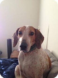 English (Redtick) Coonhound Mix Dog for adoption in richmond, Virginia - Willie