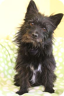 Terrier (Unknown Type, Small)/Pomeranian Mix Dog for adoption in Hagerstown, Maryland - Dixie