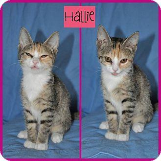 Domestic Shorthair Kitten for adoption in Allentown, Pennsylvania - Hallie