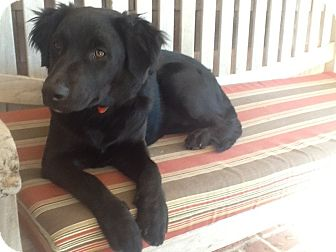 Flat-Coated Retriever/Labrador Retriever Mix Puppy for adoption in Sagaponack, New York - Scarlett